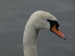 SX02812 Close up of swans head - Mute Swan [Cygnus Olor].jpg